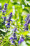 Stock Image : Upright Bugle, Blue Bugle, Geneva Bugleweed, Blue Bugleweed, (Ajuga genevensis)
