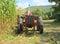 Stock Image : USA, Vermont: Harvesting Tall Corn