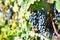 Stock Image :  Uvas em Lavaux, Suíça