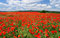 Stock Image : Vast poppy field
