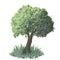 Stock Image : Vector tree