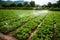 Stock Image : Vegetable farm