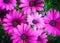 Stock Image : Velvet Dahlia