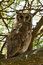 Stock Image : Verreaux's Eagle Owl