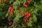 Stock Image : Viburnum berries