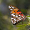 Stock Image : Viceroy Butterfly