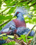 Stock Image : Victoria crowned pigeon and baby bird in the nest