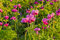 Stock Image : View of pink peony meadow