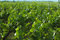 Stock Image : Vine