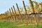 Stock Image : Vineyard in autumn