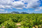 Stock Image : Vineyard in provence