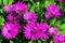 Stock Image : Violet osteospermum