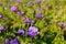 Stock Image : Violet peonies
