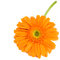 Stock Image : Orange Gerber Daisy
