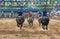 Stock Image : Water buffalo racing in Pattaya, Thailand