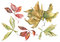 Stock Image : Watercolor dry autumn leaves