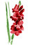 Stock Image : Watercolor gladiolus flower