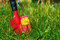 Weeds in the lawn, red garden shovel behind coltsfoot in the gra