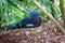 Stock Image : Western Crowned Pigeon