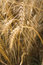 Stock Image : Wheat
