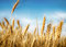 Stock Image : Wheat ears under blue sky