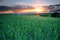 Stock Image : Wheat field