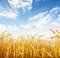 Stock Image : Wheat field