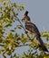 Stock Image : The White-bellied Go-away Bird