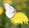 Stock Image : White Butterfly