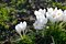 Stock Image : White crocuses