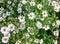 Stock Image : White daisywheels