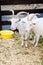 Stock Image : White domestic goat