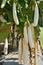 Stock Image : White eggplant in the garden.