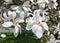 White flowers of a Magnolia stellata