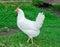 Stock Image : White hen