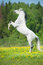 Stock Image : White horse rearing up on the meadow