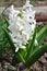 Stock Image : White hyacinth