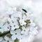 Stock Image : White lilac.