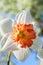 Stock Image : White with orange daffodil