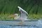Stock Image : White Pelican on water