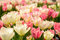 Stock Image : White and Pink Tulips