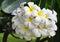 Stock Image : White Plumeria Flower