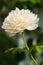 Stock Image : White rose