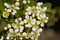 Stock Image : Small White Flowers