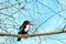 Stock Image : White-throated kingfisher