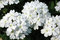 Stock Image : White Trailing Verbena Flowers