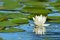 Stock Image : White Water Lily