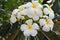 Stock Image : White and yellow frangipani flowers