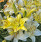 Stock Image : White And Yellow Lilies After Rain
