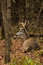 Stock Image : Whitetail Deer Buck Bedded During Fall Rut
